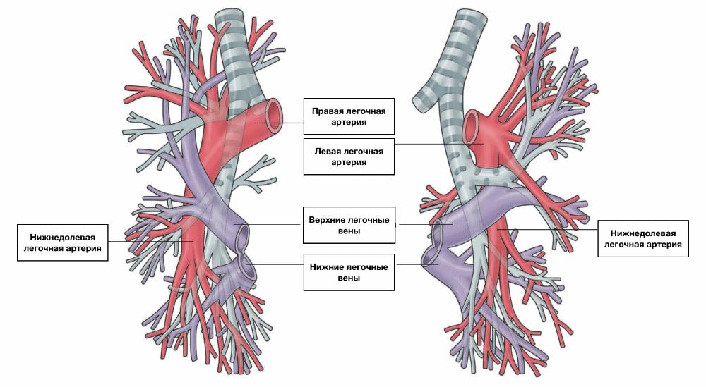 система легочный артерий
