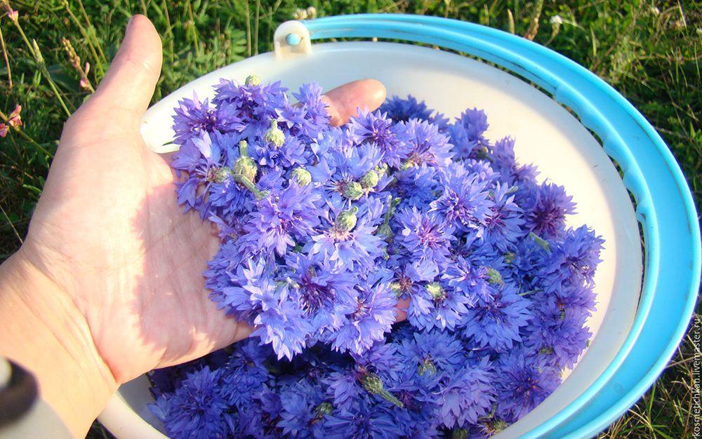 Цветы синего василька
