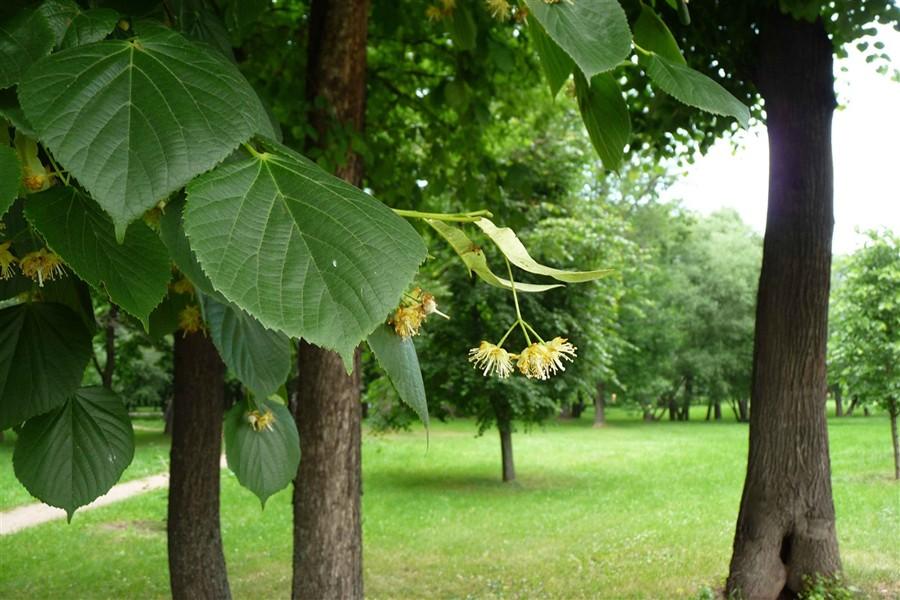 Липовые цветки на дереве